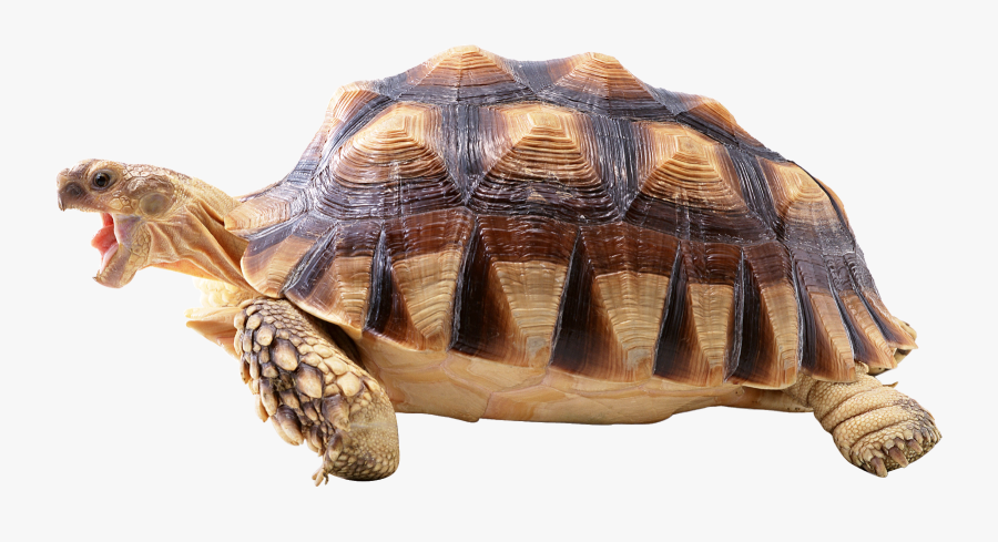 Fast Turtle , Free Transparent Clipart.