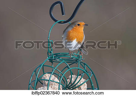 "Stock Photography of ""European Robin (Erithacus rubecula), adult."