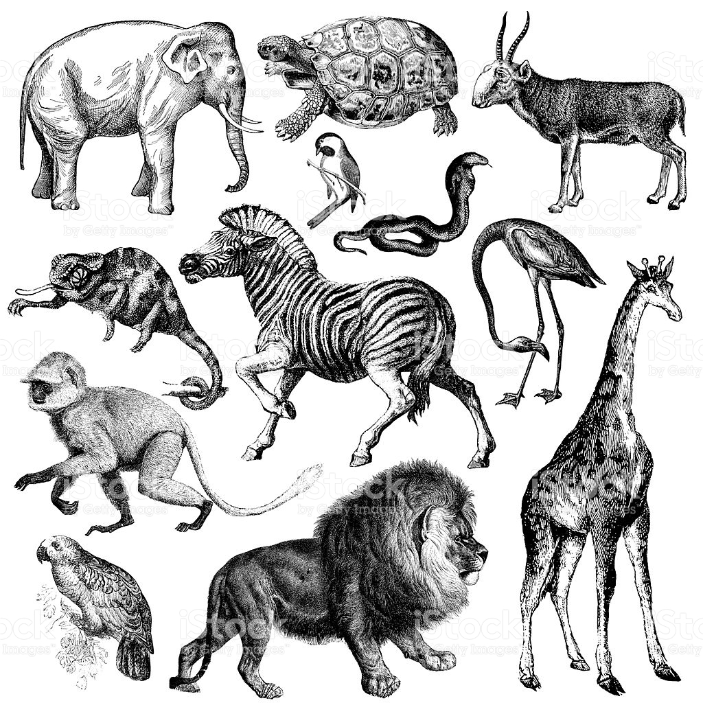 Africa Wildlife Fauna Illustrations Vintage Animal Clipart stock.
