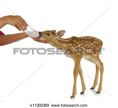 Stock Photograph of hand raising fawn k11302369.