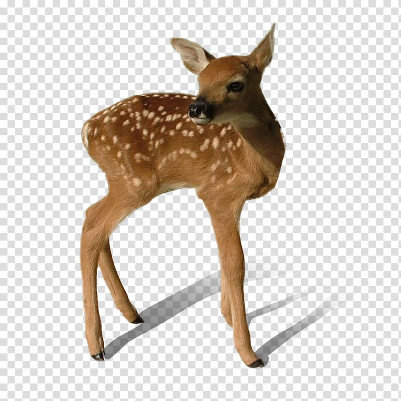 Deer , Deer transparent background PNG clipart.