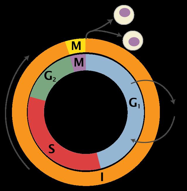 Ćelijski ciklus.