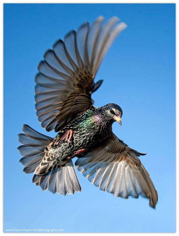 1000+ ideas about Common Starling on Pinterest.