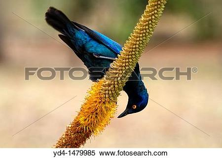Stock Image of Cape Glossy starling Lamprotornis nitens, on the.