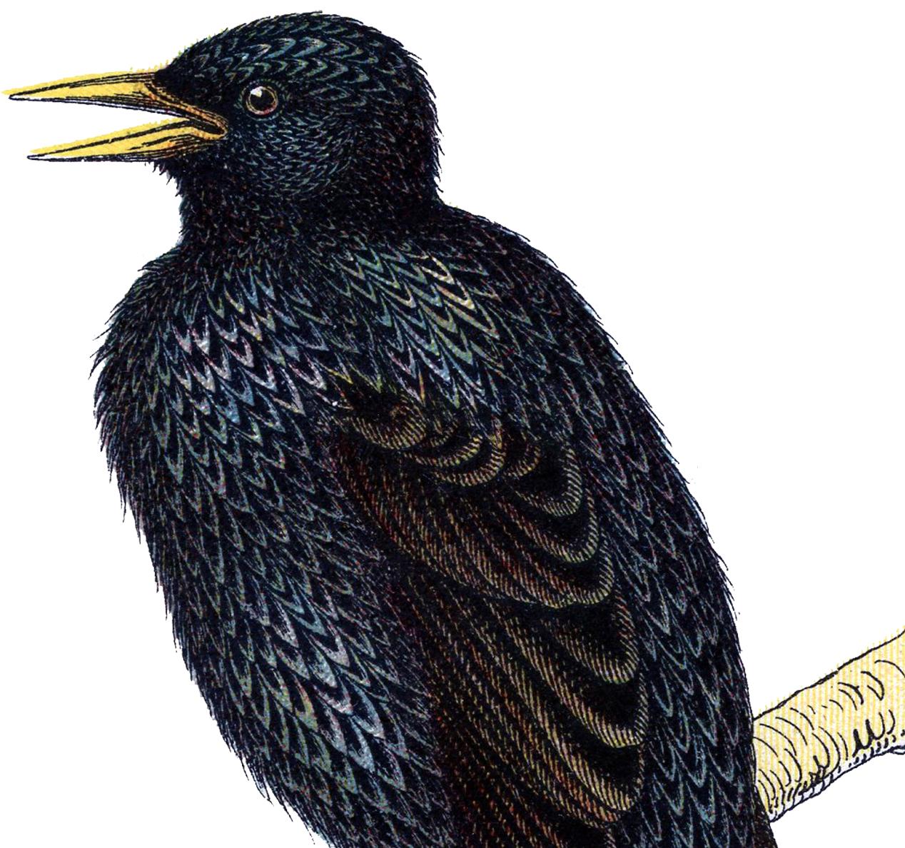 Wonderful Vintage Starling Bird Image!.