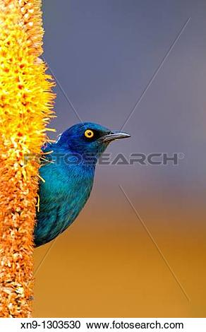 Stock Photography of Cape Glossy starling Lamprotornis nitens, on.