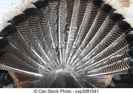 Stock Photography of Turkey Tail Feathers.