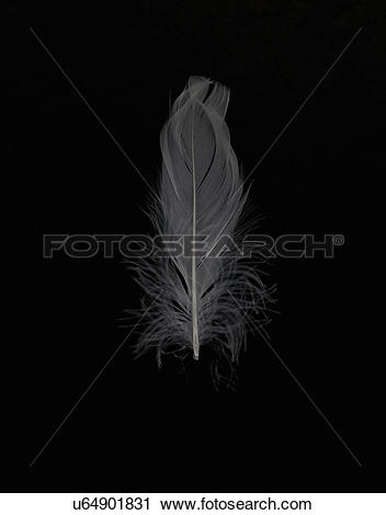 Stock Photography of Grey feather on black background u64901831.