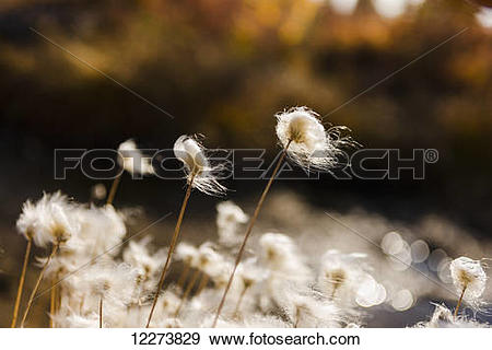 Stock Photograph of Tufts of Cottongrass (Eriophorum) backlit by.