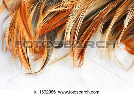 Stock Images of chicken feather texture k11592386.