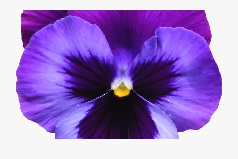 95 Purple Flowers Clipart No Background Lavender Flower.