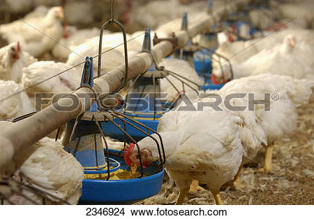 Stock Photo of Livestock.