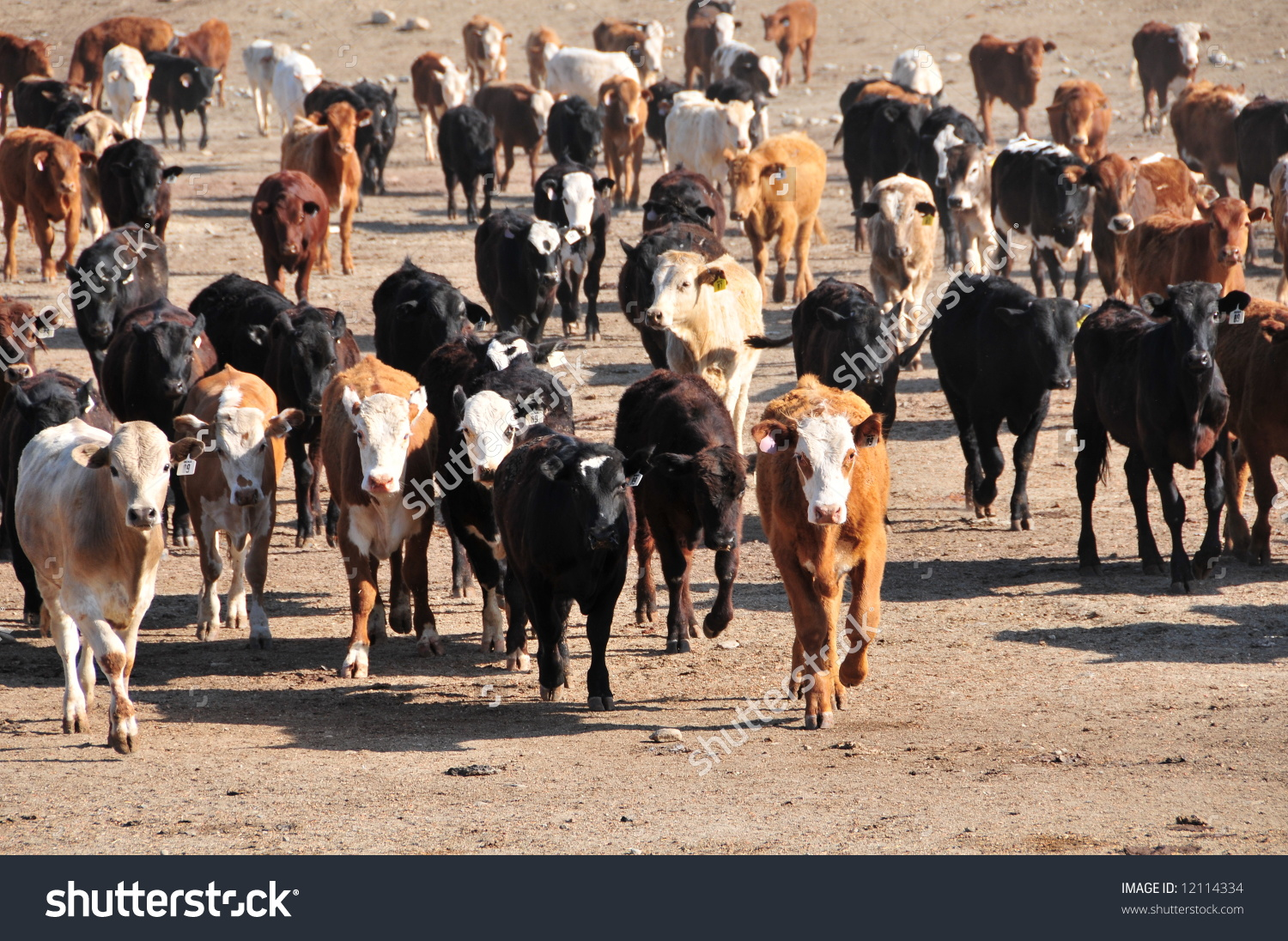 Cattle Run Briskly To Dinner In California Feed Lot Stock Photo.