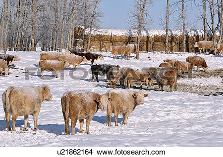 Stock Photo of A horozontal image of a herd of farm cows in a.