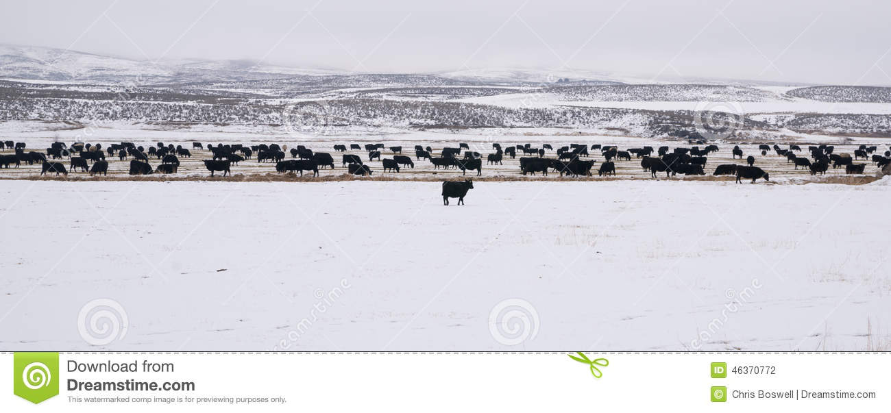 Cattle Feed Lot Royalty Free Stock Photography.