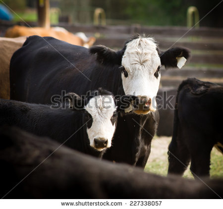 Cattle Feedlots Stock Photos, Royalty.