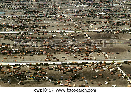 Picture of Aerial view of World's largest cattle feedlot (120,000.