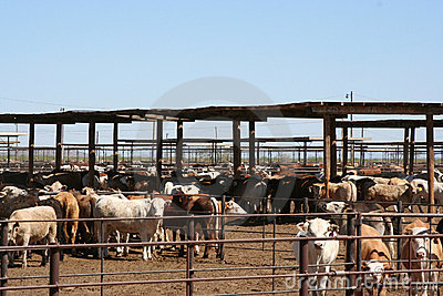 Cattle Feedlot Stock Photography.