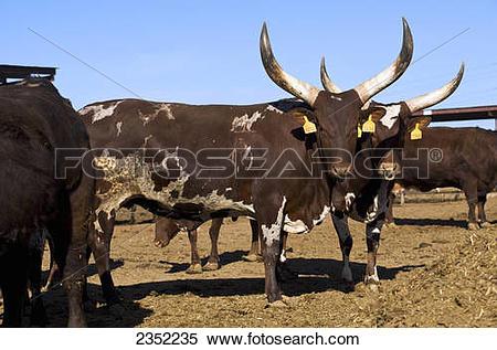 Stock Image of Livestock.