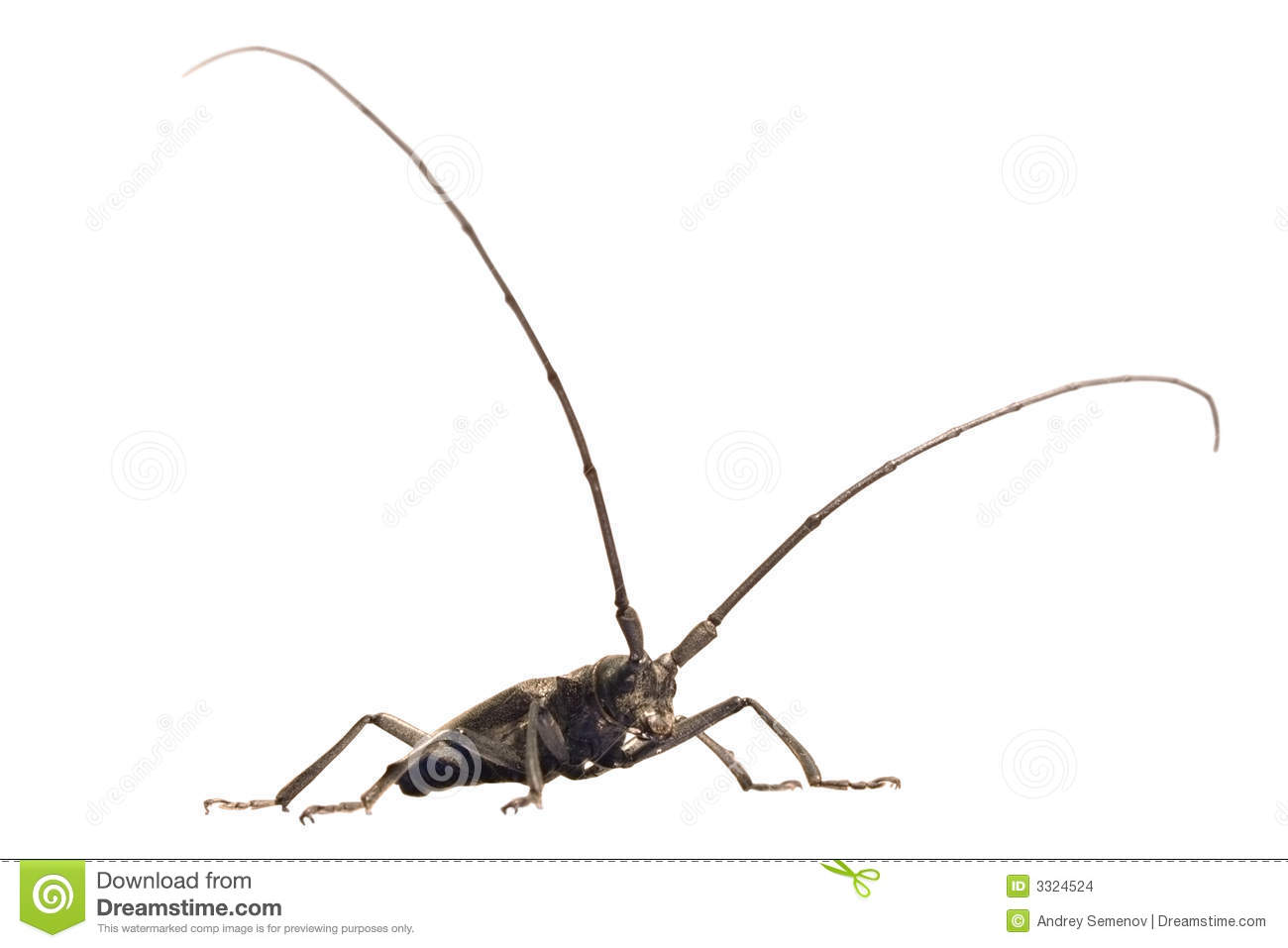Beetle With Lengthy Feelers Stock Images.