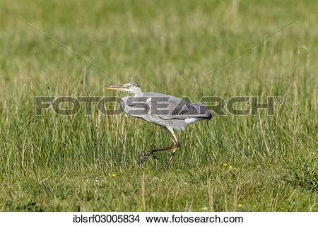 "Stock Photo of ""Grey Heron (Ardea cinerea), Fehmarn, Fehmarn."