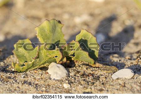 "Stock Image of ""Sea Kale (Crambe maritima), Fehmarn Island."
