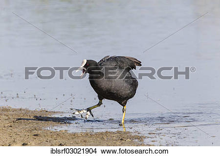 "Stock Photo of ""Coot (Fulica atra), calling, Fehmarn, Wallnau."