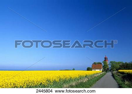 Stock Photo of Oilseed rape (Brassica napus) flowers in field with.