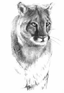 Cougar Clip Art Download.