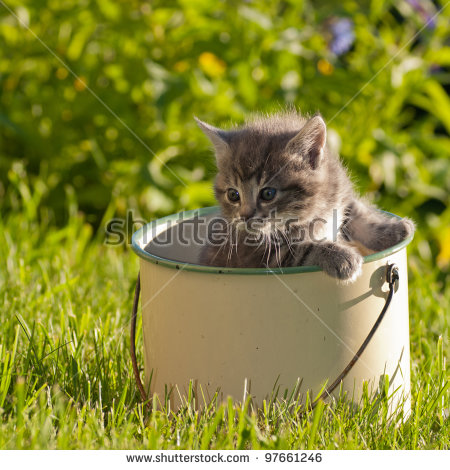 Felis Catus Domestica Stock Images, Royalty.