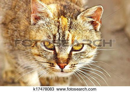 Drawing of Cat. (Felis silvestris catus) k17478083.