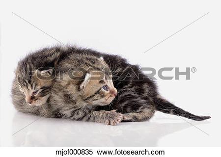 Stock Image of Two tabby kittens, Felis Silvestris Catus, on white.