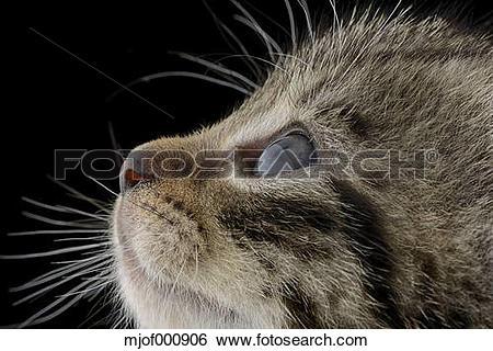 Stock Images of Profile of tabby kitten, Felis Silvestris Catus.