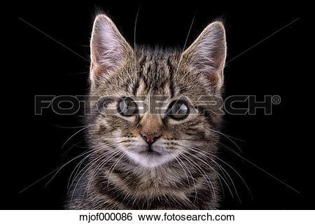 Stock Images of Portrait of tabby kitten, Felis silvestris catus.
