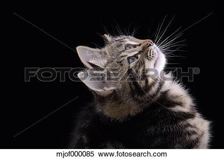 Stock Image of Double portrait of tabby kitten, Felis silvestris.