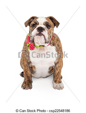 Pictures of Female Bulldog With Flower Collar.