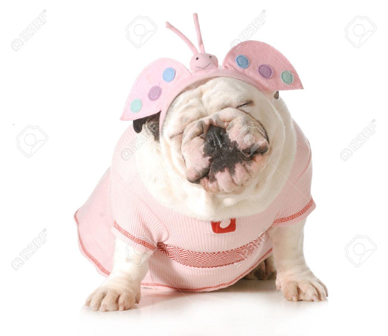 English Bulldog Stock Photos Images. Royalty Free English Bulldog.