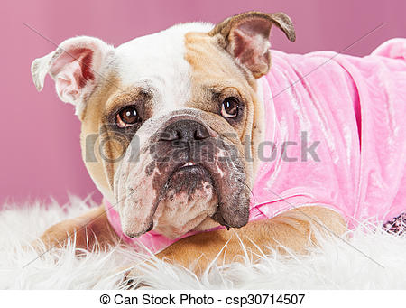 Stock Photography of Cute Female Bulldog in Pink Outfit.