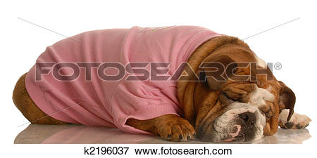 Picture of tired female bulldog k2196037.