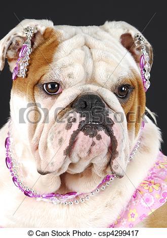 Picture of female english bulldog.