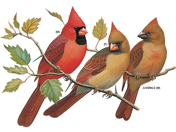 The Northern Cardinal by Crystal Hutchinson on Prezi.