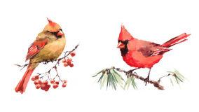 Female Cardinal Stock Illustrations.