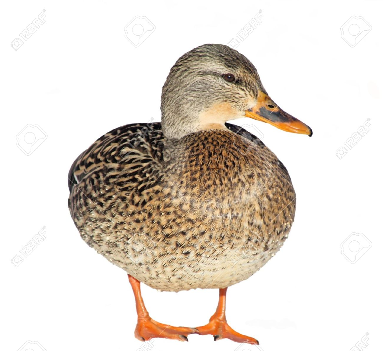 Mallard Duck Stock Photos & Pictures. Royalty Free Mallard Duck.