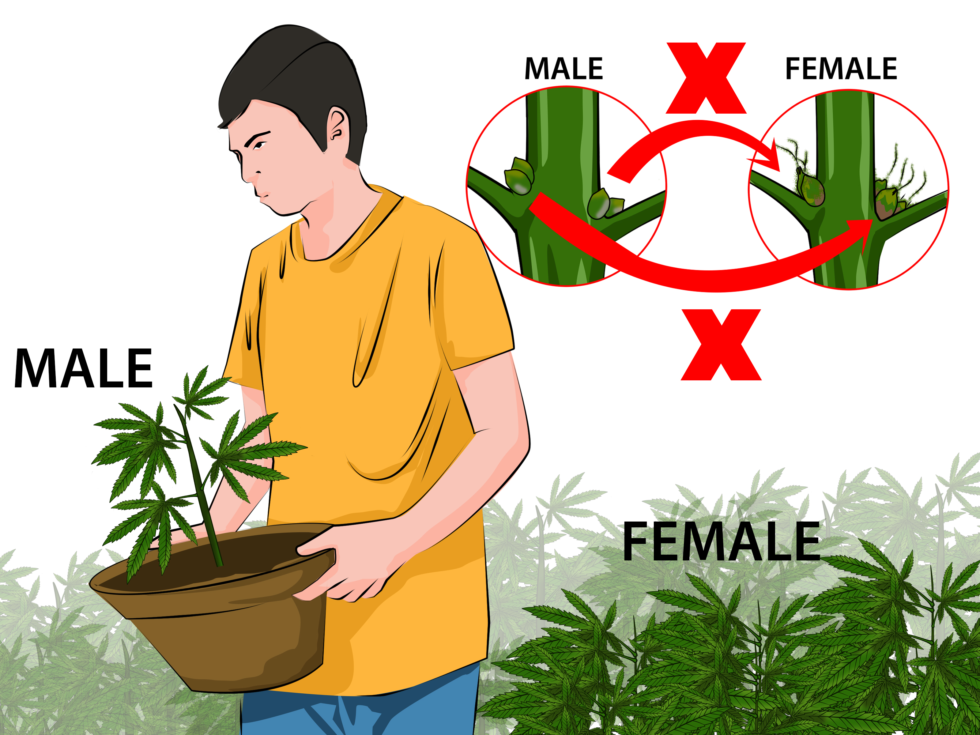 How to Identify Female and Male Marijuana Plants: 9 Steps.