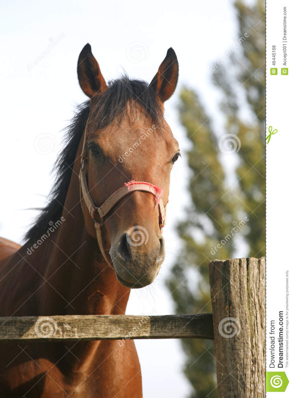 Bay Horse In The Farm Behind The Fence Stock Photo.