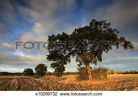 Stock Photo of Sunrise over Oak Tree, Autumn colours, Fenland.