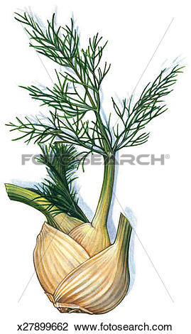Clip Art of Fennel Bulb x27899662.