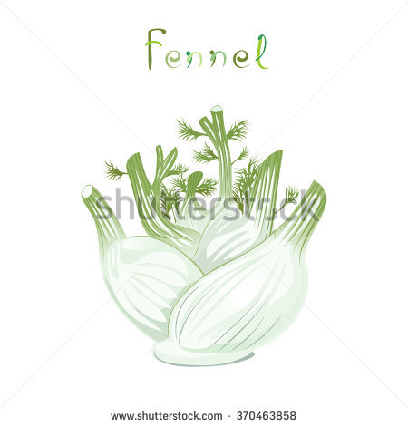 Fennel Bulb Stock Photos, Royalty.