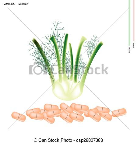 Vector of Fresh Fennel Bulb with Vitamin C and Minerals.