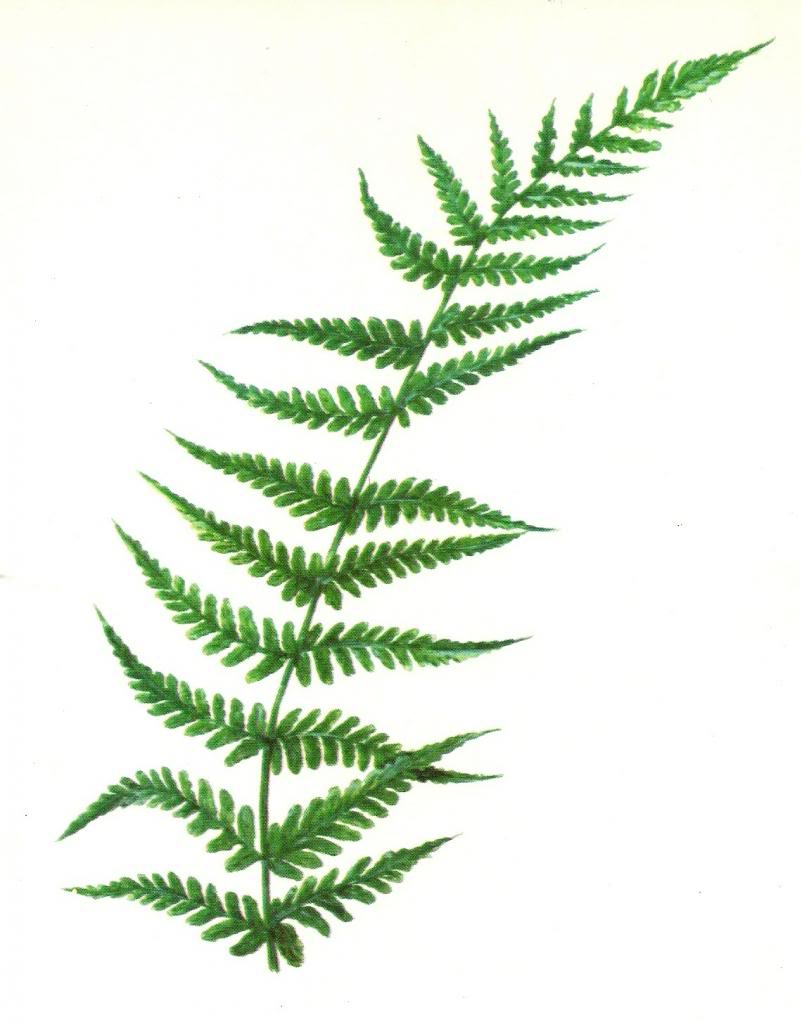 Red fern clip art.